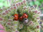 As part of their life cycle ladybirds overwinter. They can be found in groups, sometimes consisting of over 100 individuals. Smaller groups of 5-20 can be found in cracks under leaves or in old flower heads.