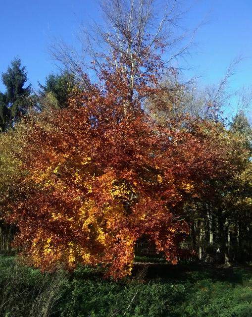 A beautiful tree with an enormous spreading crown when mature (as in this picture), often branching almost horizontally. Trees especially young trees and hedges retain their leaves in winter. The Beech tree is native to southern England. It has oval leaves which are yellow green when young quickly t...