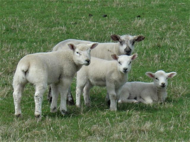 Young sheep are called lambs.  They can see around 300 degrees which allows them to see behind themselves without having to turn their head.