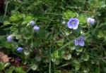 This creeping mat forming plant has kidney-shaped leaves. The flowers are blue 8-10mm wide. It usually flowers from March to June.