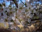 A shrub or small tree usually less than 10m high, cherry-plum usually starts flowering in March, and is the first white-flowered blossom tree (usually 2-3 weeks before blackthorn) producing flowers about 2cm across. It flowers at the same time as the young leaves. The shiny, sometimes spiny twigs ca...
