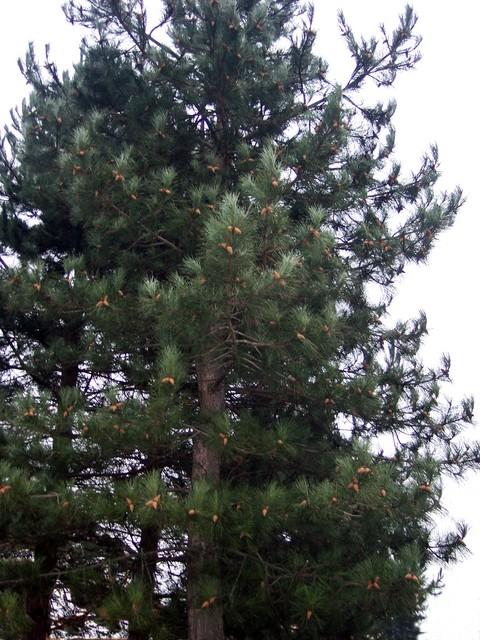 White pine tree ponderosa pine tree eastern white pine tree images