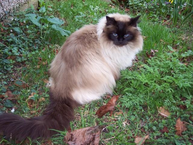 Siberian Long Haired Cat London