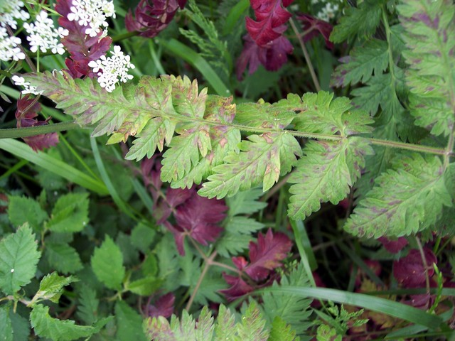 Cow parsley leaves