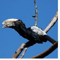 Hornbill from Kenton College Nairobi Kenya -