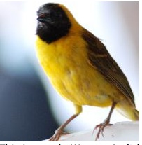Male Weaver from Kenton College Nairobi Kenya -